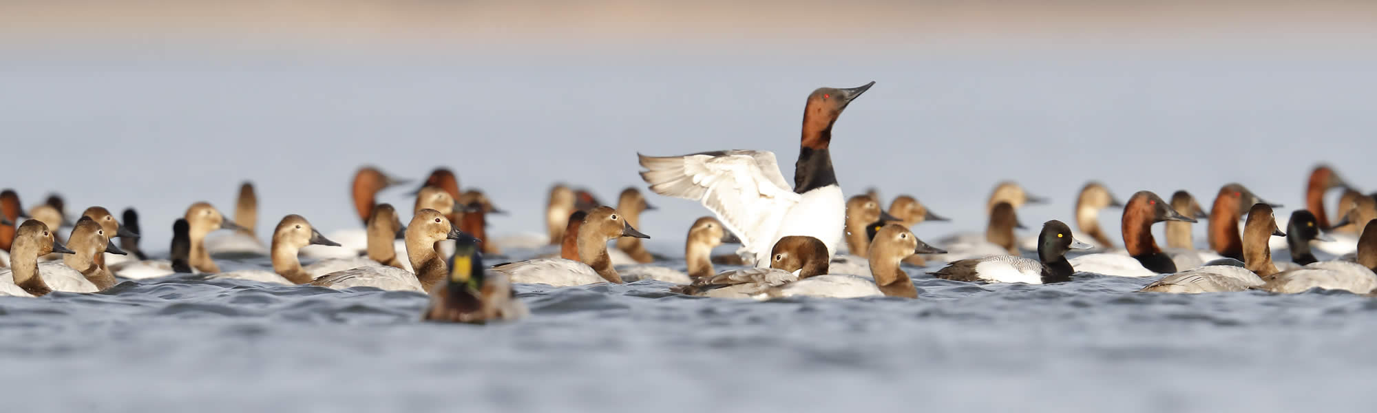 Canvasback Decoys